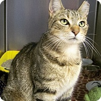Domestic Shorthair Cat for adoption in Toledo, Ohio - Gracie