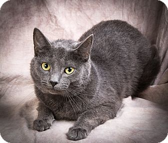 Domestic Shorthair Cat for adoption in Anna, Illinois - HANNAH