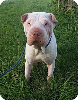 Shar Pei Dog for adoption in Houston, Texas - Rocky