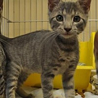Domestic Shorthair Kitten for adoption in Pompano Beach, Florida - Chris 3