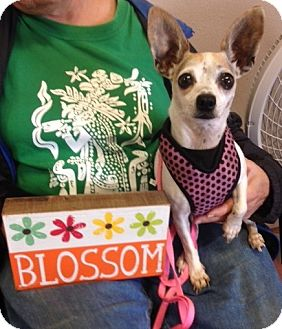 Chihuahua Mix Dog for adoption in Garland, Texas - Blossom