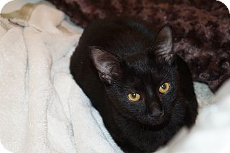 Domestic Shorthair Cat for adoption in Parkton, North Carolina - Gizmo