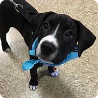 Adopt A Pet :: Trace - Charlotte, NC