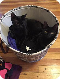 Domestic Shorthair Kitten for adoption in Denver, Colorado - Cat-Freddie