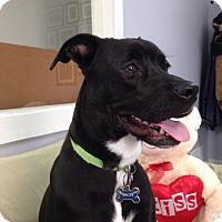 Terrier (Unknown Type, Medium) Mix Dog for adoption in Hawk Point, Missouri - Rocky