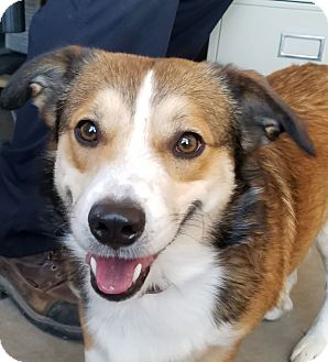 Corgi/Sheltie, Shetland Sheepdog Mix Dog for adoption in Sterling, Colorado - Jamison
