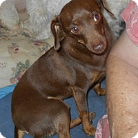 Dachshund/Chihuahua Mix Dog for adoption in Albany, Oregon - Snickers