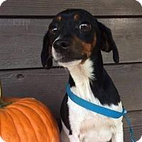 Adopt A Pet :: Violet - Merriam, KS