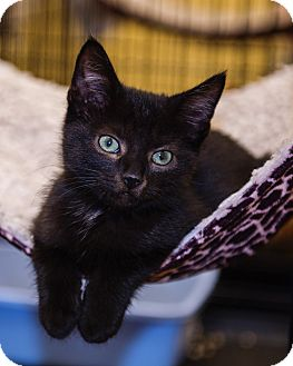 Domestic Shorthair Kitten for adoption in Mooresville, North Carolina - A..  Shadow
