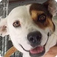 Jack Russell Terrier/Terrier (Unknown Type, Medium) Mix Dog for adoption in Billerica, Massachusetts - Rex