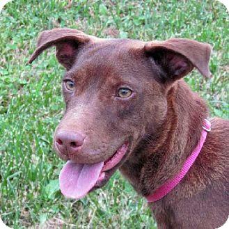 Labrador Retriever Mix Dog for adoption in Aurora, Illinois - Bonnie