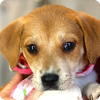 Adopt A Pet :: Gia - West Grove, PA