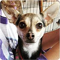 Adopt A Pet :: Nica - Monrovia, CA