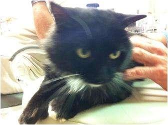 Domestic Mediumhair Cat for adoption in Witter, Arkansas - TIMBERTOES