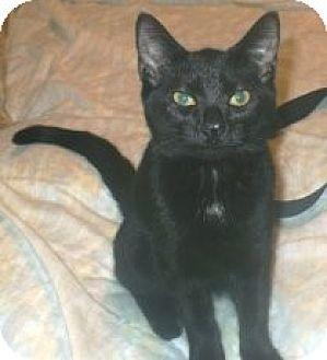 Domestic Shorthair Cat for adoption in Miami, Florida - Nima