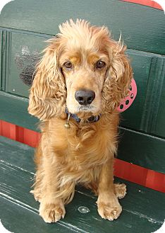 Cocker Spaniel Dog for adoption in Sugarland, Texas - Rusty