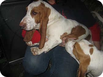 Basset Hound Puppy for adoption in Henderson, Kentucky - Fred