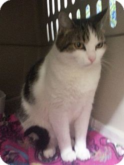 Domestic Shorthair Cat for adoption in Walnut, Iowa - Jewel