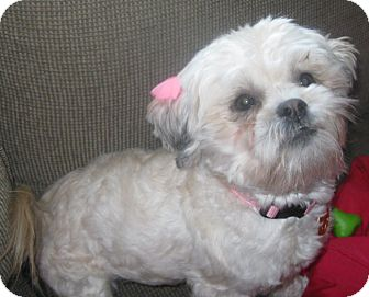 shih tzu rescue illinois daisy adoption pending adopted dog schaumburg il 7711