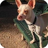 Adopt A Pet :: Chalupa - Austin, TX