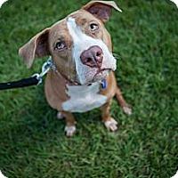 Adopt A Pet :: Gabby - Miami, FL