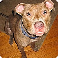 Adopt A Pet :: Tyrion - Cary, IL