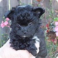Adopt A Pet :: GIZMO - Torrance, CA