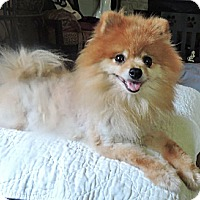 Adopt A Pet :: *Addie - PENDING - Westport, CT