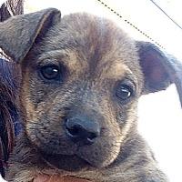 Adopt A Pet :: TJ Brindle Girl - Long Beach, CA