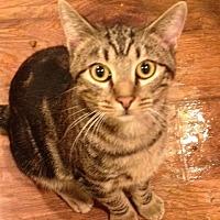 Domestic Shorthair Cat for adoption in Wichita Falls, Texas - Aiden