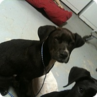 Labrador Retriever Mix Dog for adoption in Hagerstown, Maryland - Scout