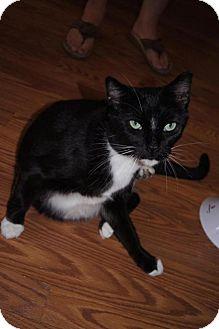Domestic Shorthair Cat for adoption in New Bedford, Massachusetts - Vander