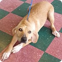 Adopt A Pet :: Cookie meet me 11/20 - East Hartford, CT