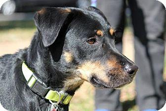 Australian Shepherd/Rottweiler Mix Dog for adoption in Houston, Texas - Yeager