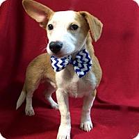 Adopt A Pet :: Barron - Thomspn, CT