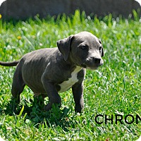 Adopt A Pet :: Chronos (god of time) - Sacramento, CA