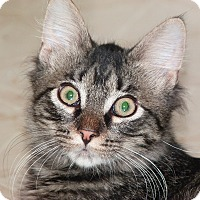 Manx Kitten for adoption in Stafford, Virginia - Cole
