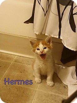Domestic Shorthair Kitten for adoption in Rosamond, California - Hermes