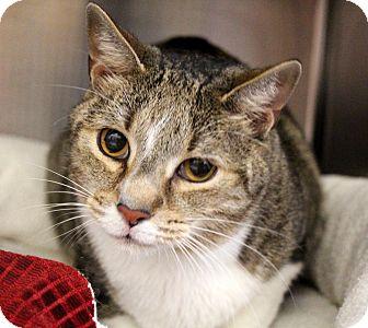 Domestic Shorthair Cat for adoption in Sarasota, Florida - Luke