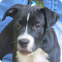 Adopt A Pet :: Rocky is lookin' for LOVE - Allentown, PA