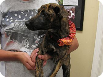 Catahoula Leopard Dog/Hound (Unknown Type) Mix Puppy for adoption in Groton, Massachusetts - Cher