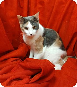 Calico Cat for adoption in Baton Rouge, Louisiana - Khaleesi