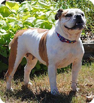 English Bulldog Mix Dog for adoption in Cedartown, Georgia - Daisy