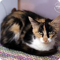 Domestic Shorthair Cat for adoption in Lyons, New York - Pandora