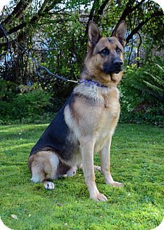 German Shepherd Dog Dog for adoption in Woodinville, Washington - Enzo / ADOPTION PENDING