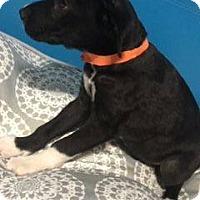 Adopt A Pet :: HERSHELL - 3 MONTH LAB MIX MAL - Mesa, AZ