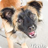 Adopt A Pet :: Tonto - DFW, TX