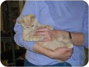 Domestic Shorthair Cat for adoption in McDonough, Georgia - Kody Kadillac
