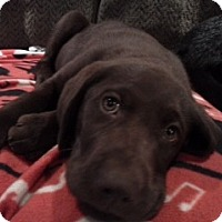 Adopt A Pet :: Bates Pup - Foster, RI