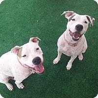 Adopt A Pet :: Mary Kate n Ashley - Scottsdale, AZ